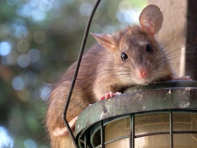 Comment prévenir une invasion de rats dans votre maison ?